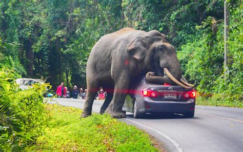 A Bull Elephant Kneeled On A Car In Thailand, Shattering