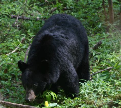 Safety in Bear Country - Cumberland Gap National