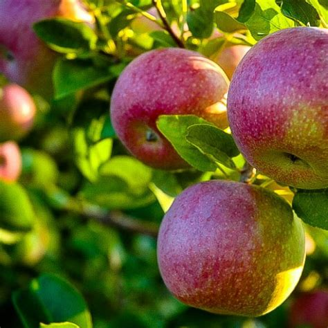 McIntosh Apple Tree For Sale Online | The Tree Center
