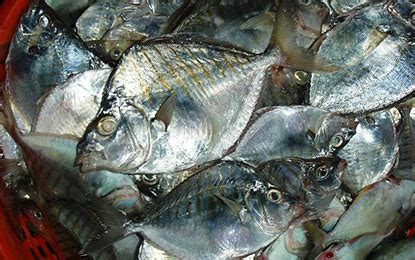 Silver bellies & Pony fish | Seafood India