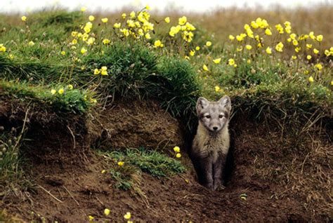 Culture N Lifestyle   CNL — Arctic Foxes 'Grow' Their Own