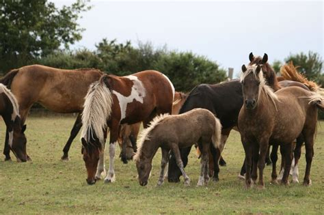 CHEVAL CURLY A VENDRE - Haras JAK CURLY, ICHO breeder